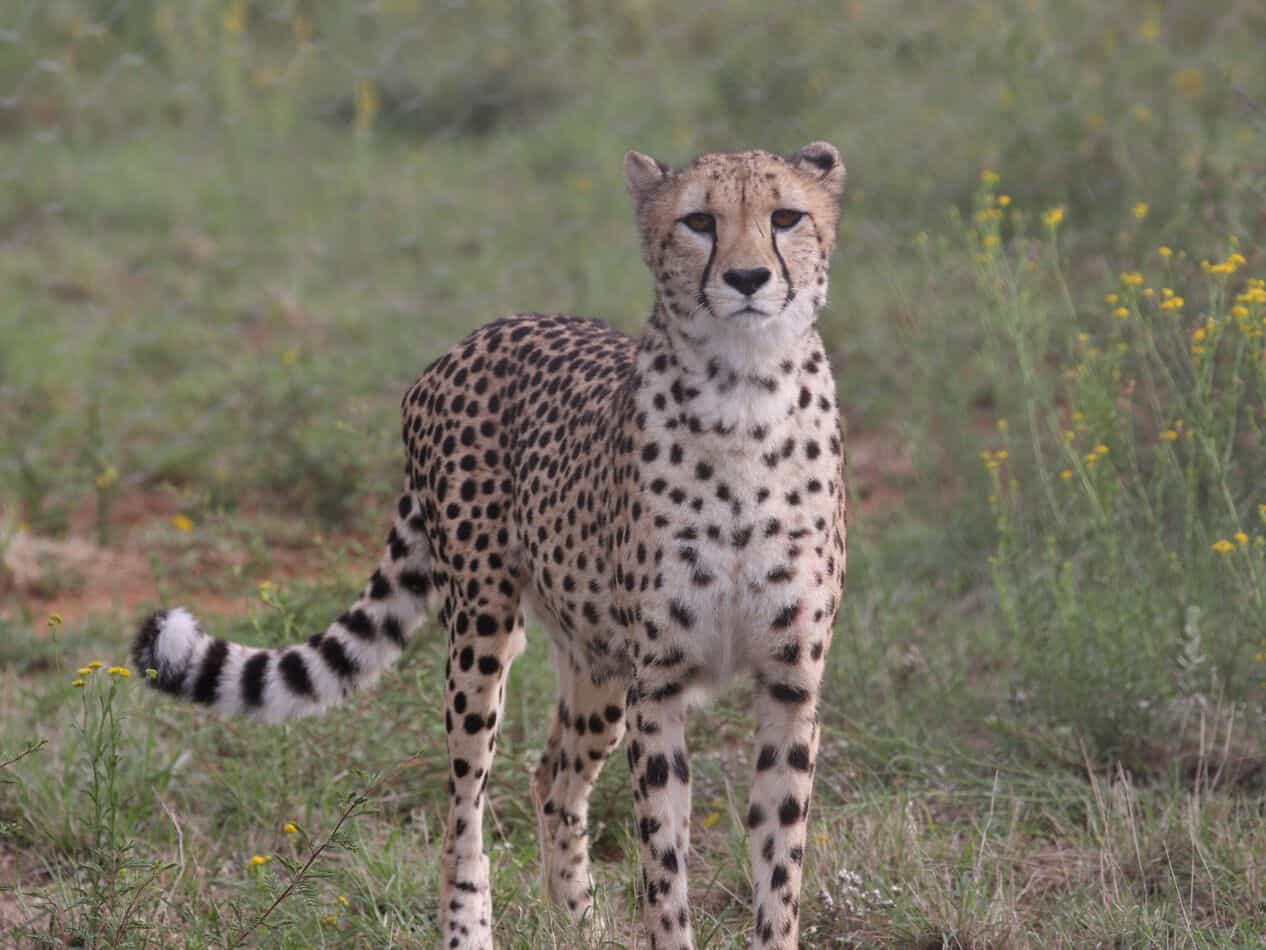 On To The Cheetah Conservation Fund!